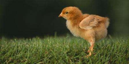Поширені хвороби курчат-бройлерів, симптоми та методи їх лікування
