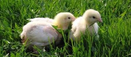 Кури бройлери Росс 308: розведення та вирощування в домашніх умовах