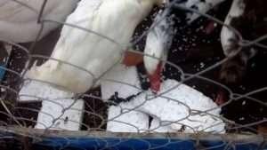 Причини, чому кури починають їсти пінопласт