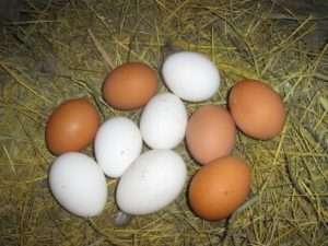Фото Хайсекс яєць. Колір шкаралупи відповідає кольору оперення курки -инесучки.