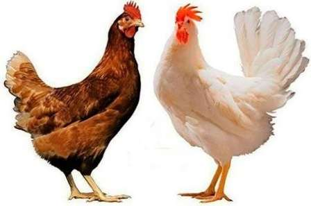 Яєчна порода курей Хайсекс: Характеристика, опис порід, фото