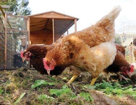 Кури Редбро: опис, фото, характеристика м'ясо-яєчної породи та відгуки