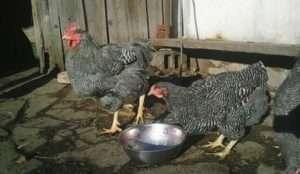 Вирощування курчат породи Плімутрок смугастий