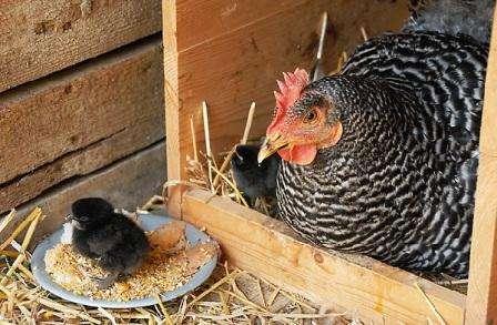 Кури породи Амрокс: фото, опис, продуктивна характеристика