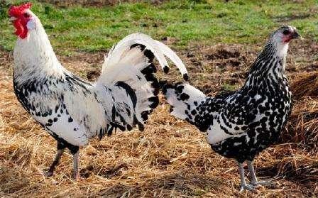 Кури породи Гамбурзька: опис, фото і продуктивна характеристика