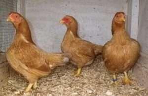 Вирощування курчат породи Корніш