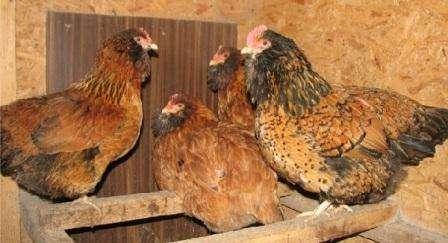 Кури породи Ушанка: опис, важливі особливості