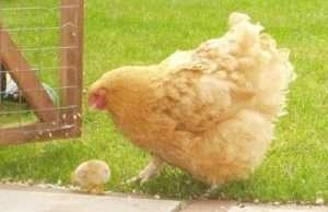 Розведення курчат породи Орпінгтон в домашніх умовах