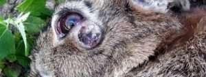 Самостійне лікування міксоматозу у кроликів в домашніх умовах
