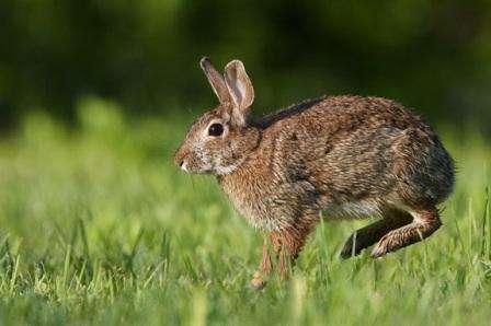 Міксоматоз у кроликів, лукування в домашніх умовах
