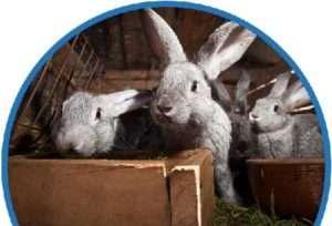 Чим обробляти кролятник для кроликів в домашніх умовах?