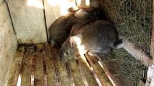 Як зробити сінник для кроликів своїми руками