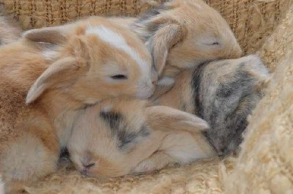 Відсадження кроленят від кролиці. Коли та як відлучати потомство кролів. Відео та фото