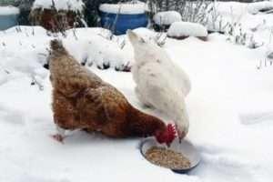 Чим годувати курей взимку щоб неслися в домашніх умовах?