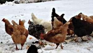 Чим годувати курей взимку і як збагатити їх раціон вітамінами і мінералами