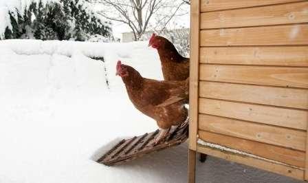 Годування курей зимою щоб добре неслися яйця: Як і чим годувати взимку несучок