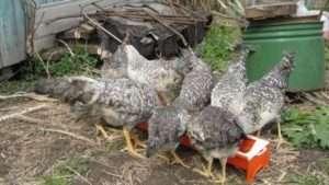 Як виростити курчат породи Українська Борковська Барвиста