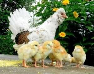 Карликові кури породиГолландська Білочубчикова