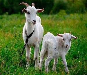 Кози в домашньому господарстві: догляд і годування
