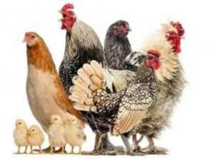 М'ясні породи курей з фото - опис та характеристика курей м'ясо-яєчного напрямку
