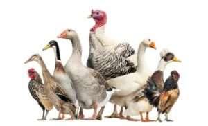 Вирощування птиці в домашніх умовах
