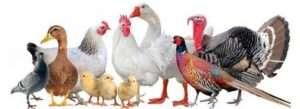 Птахівництво - розведення птиці в домашніх умовах як бізнес для початківців в Україні