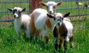 Утримання та розведення кіз в домашніх умовах для початківців як бізнес. Все про кіз