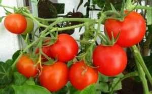Технологія і агротехніка вирощування помідорів (томатів) у відкритому грунті на городі та теплиці