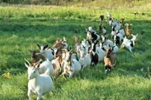 Яку породу кіз вибрати для розведення в домашніх умовах