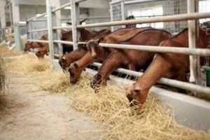 Зміст і розведення кіз починається з вибору породи
