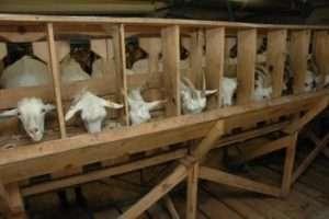 розведення кіз самостійно