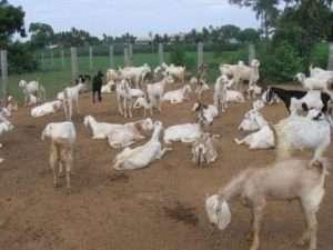 Як доглядати за козою в домашніх умовах