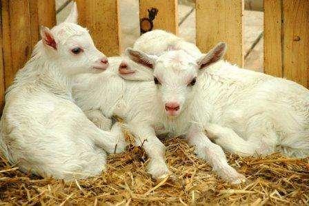 Розведення кіз як бізнес в домашніх умовах для молока, вовни і м'яса - з чого почати