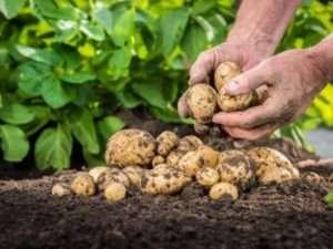 Добрива для картоплі — чим удобрювати картоплю при посадці для найкращого врожаю