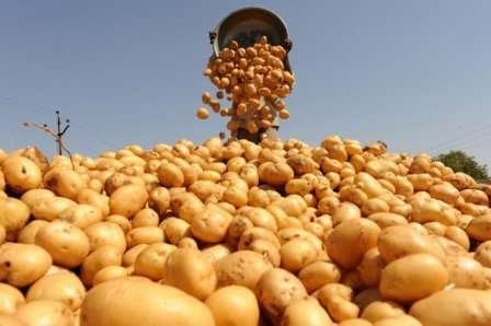 Як та чим удобрювати картоплю для найкращого врожаю - добрива для підживлення картоплі