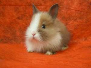 Якими бувають декоративні кролики і для чого їх розводять