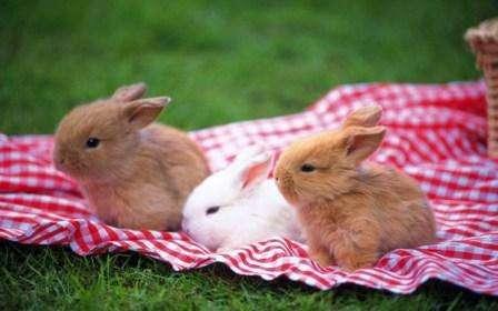 Декоративні кролики: породи, характеристика та умови утримання