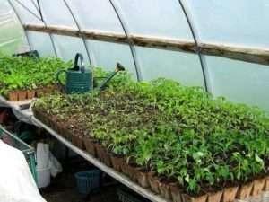Коли садити помідори та перець в березні за місячним календарем