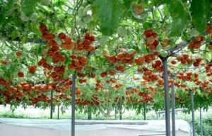 Найкращі індетермінантні сорти помідорів для відкритого грунту в Україні