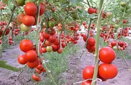 Найурожайніші індетермінантні сорти помідорів для відкритого грунту в Україні - описом з фото