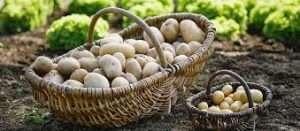 Технологія і агротехніка вирощування та посадки картоплі у відкритому грунті на городі