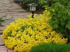 На фото багаторічна рослина під назвою Аліссум