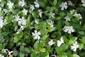 На фото квітка Барвінок