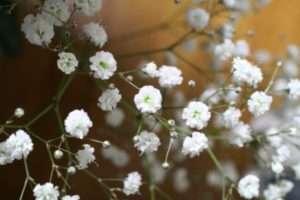 Ніжна Гіпсофіла входить в каталог популярних квітів для дачі
