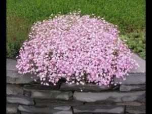 Рожева Гіпсофіла