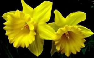 На фото багаторічна рослина - Нарцис