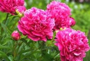 На фото рожевий Піон