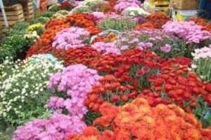 На фото хризантеми