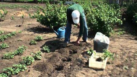 Як та коли садити помідори (томати) у відкритий грунт в 2019 році за місячним календарем