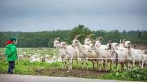 Як організувати козячу ферму